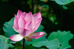 Belle fleur de lotus Image stock