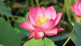 Belle fleur de lotus banque de vidéos