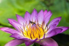 Belle fleur de lotus Photos stock