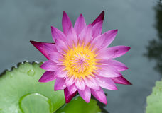 Belle fleur de lotus Photographie stock