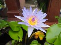 Belle fleur de lotus Images libres de droits