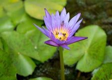 belle fleur de lotus avec le fond brouillé Photos stock