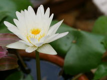 Belle fleur de lotus blanche Photo stock