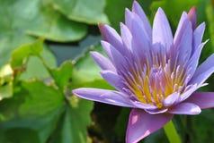 Belle fleur de lotus de lotus pourpre Photographie stock