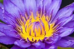 Belle fleur de lotus pourprée Image libre de droits