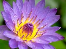 Belle fleur de lotus pourprée Photos libres de droits