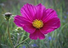 Belle fleur de Malva dans le pourpre images stock