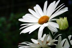 Belle fleur de marguerite Photo libre de droits