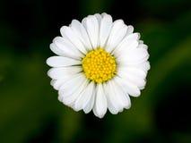Belle fleur de marguerite Images libres de droits