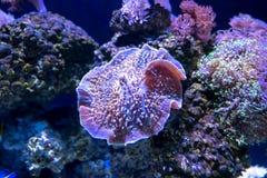 Belle fleur de mer en monde sous-marin avec des coraux et des poissons photos libres de droits