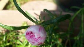 Belle fleur de Mousse-rose clips vidéos