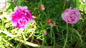 Belle fleur de Mousse-rose banque de vidéos