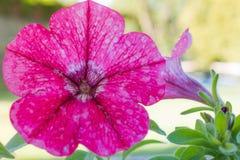 Belle fleur de pétunia photographie stock libre de droits