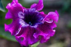 Belle fleur de pétunia d'une nuance de fiolet photo libre de droits