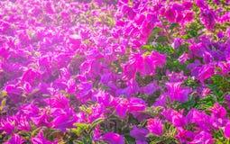 Belle fleur de papier rose, fleurs brillantes de bouganvillée avec la lumière artificielle Photo libre de droits