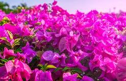 Belle fleur de papier rose, fleurs brillantes de bouganvillée avec la lumière artificielle Images stock