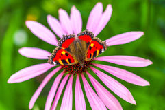 Belle fleur de papillon et d'echinacea en été Photo libre de droits
