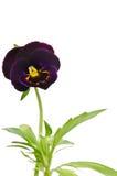Belle fleur de pensée Photo stock