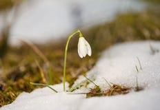 Belle fleur de perce-neige parmi la neige Images stock
