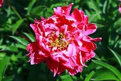 Belle fleur de pivoine sur le fond vert naturel Photographie stock libre de droits