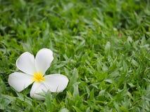 Belle fleur de Plumeria sur l'herbe Photographie stock