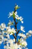 Belle fleur de prune dans le printemps photos libres de droits