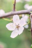Belle fleur de ressort de l'arbre Images stock
