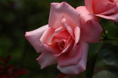 Belle fleur de Rose dans le jardin, princesse Aiko image stock