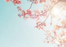 Belle fleur de rose de cerise au printemps image stock