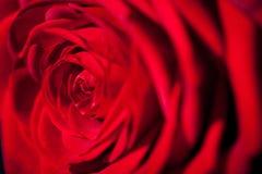 Belle fleur de rose de rouge sur le fond noir Photo stock