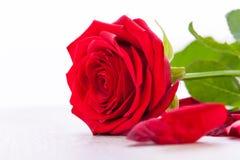 Belle fleur de rose de rouge sur le fond noir Image stock