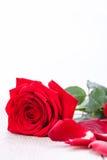 Belle fleur de rose de rouge sur le fond noir Photos stock