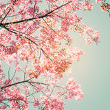belle fleur de rose de Sakura au printemps image libre de droits