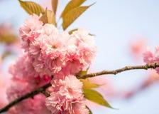 Belle fleur de Sakura Photographie stock