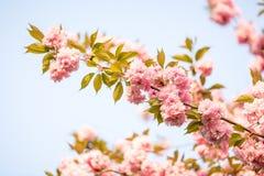 Belle fleur de Sakura Image stock