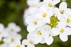 Belle fleur de source Photos libres de droits