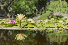 Belle fleur de tetragona jaune de Nymphaea images libres de droits