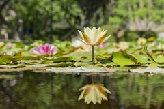 Belle fleur de tetragona jaune de Nymphaea images stock
