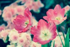 Belle fleur de tulipe et fond vert de feuille Image libre de droits