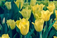 Belle fleur de tulipe et fond vert de feuille dans le jardin Images libres de droits