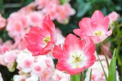Belle fleur de tulipe et fond vert de feuille dans le jardin Photographie stock