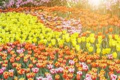 Belle fleur de tulipe et fond vert de feuille dans le jardin Photo stock