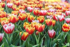 Belle fleur de tulipe et fond vert de feuille dans le jardin Photographie stock libre de droits