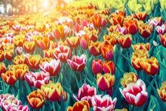 Belle fleur de tulipe et fond vert de feuille dans le jardin à l'hiver ou à la journée de printemps Images libres de droits