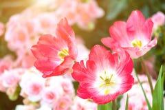 Belle fleur de tulipe et fond vert de feuille dans le jardin à l'hiver ou à la journée de printemps Image libre de droits