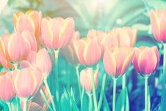Belle fleur de tulipe et fond vert de feuille dans le jardin à l'hiver ou à la journée de printemps Image stock