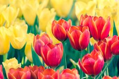 Belle fleur de tulipe et fond vert de feuille dans le jardin a Photo stock