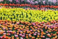 Belle fleur de tulipe et fond vert de feuille dans le jardin Photo libre de droits