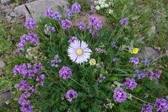 Belle fleur du Pamirs du nord Photographie stock