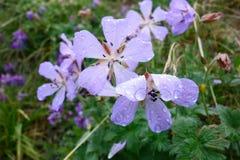 Belle fleur du Pamirs du nord Photos stock